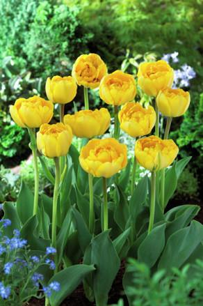 Yellow Pompenette