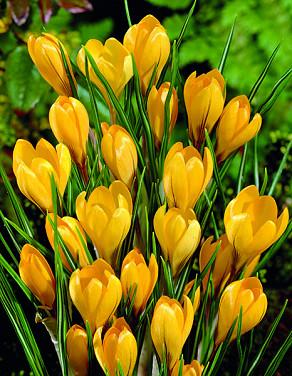 Yellow Mammouth
