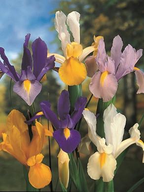 Iris gemengd