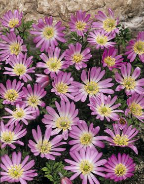 Blanda Pink Star