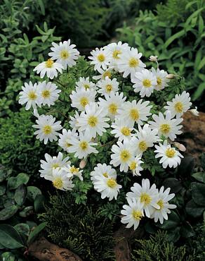 Blanda White Splendour