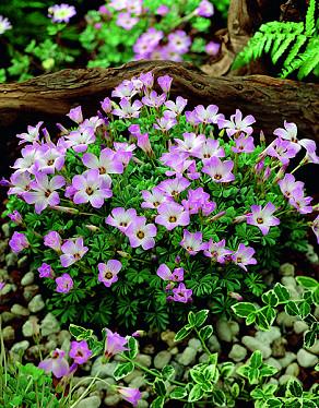 Adenophylla