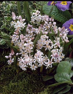 bifolia Rosea