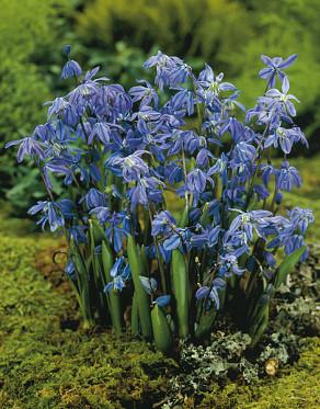 Siberica Spring Beauty