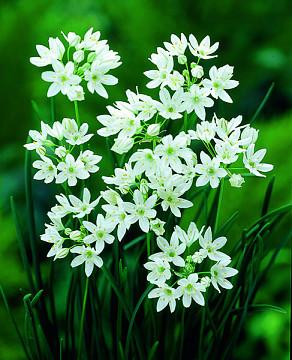Hyacinthina