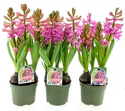 hyacint 12cm roze