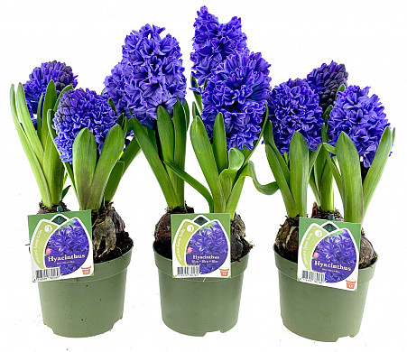 hyacint blauw 12cm