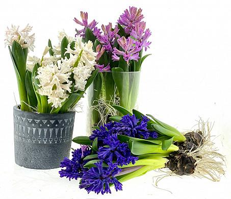 hyacint snij
