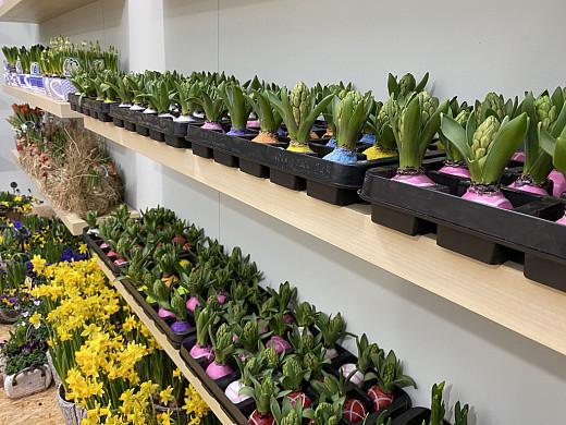 display wax hyacint