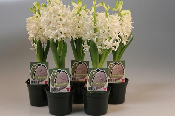 hya wit bloei 8,5 cm