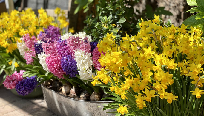 tuin bloembollen op pot